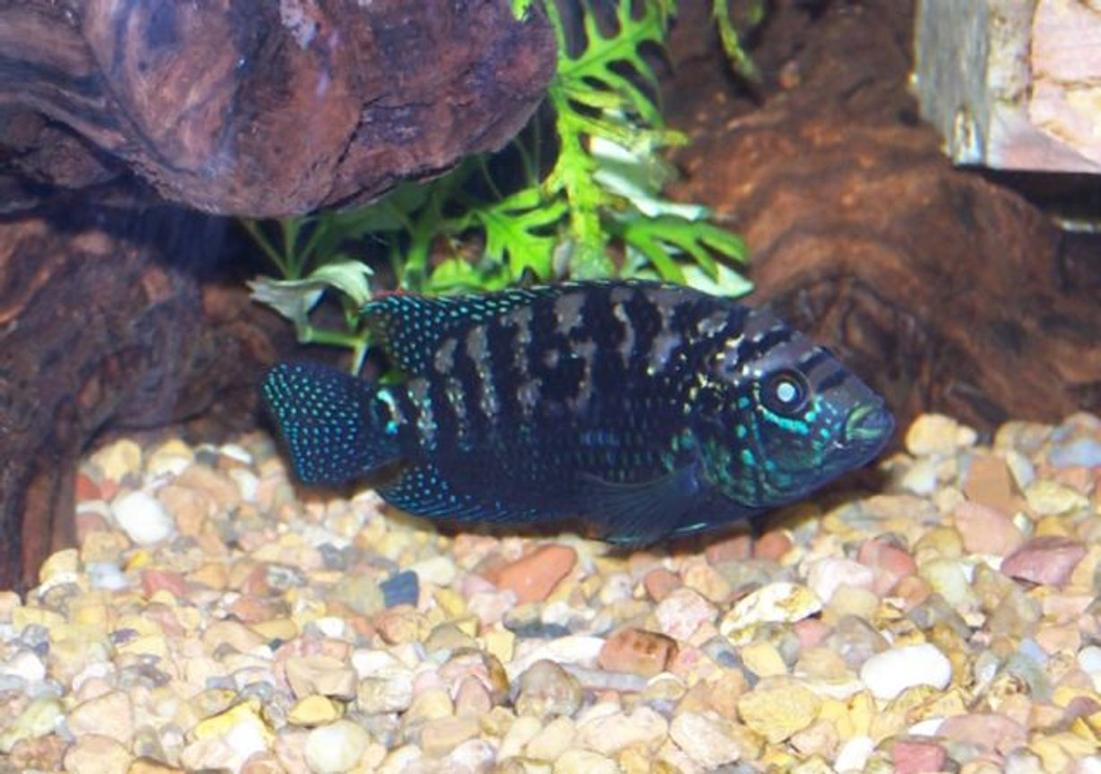 freshwater fish - nandopsis octofasciatum - jack dempsey stocking in 125 gallons tank - This Black Jack is now a proud papa. His mate, also a Black Jack, spawned on 5/27 producing close to 500 fry which hatched out on 5/29.