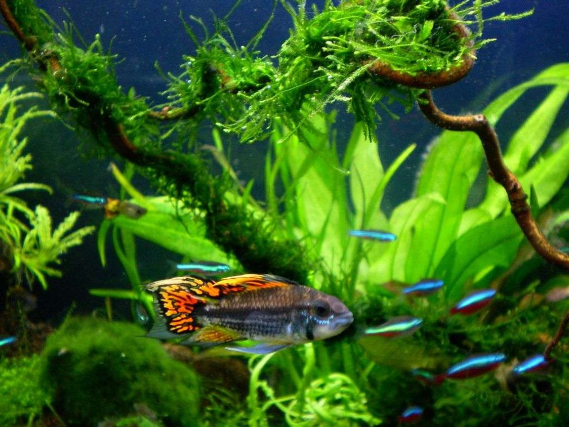 freshwater fish - apistogramma cacatuoides - double full red cockatoo cichlid stocking in 25 gallons tank - apistogramma