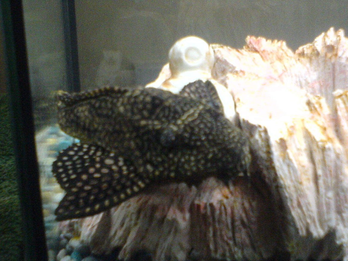 freshwater fish - glyptoperichthys gibbiceps - sailfin pleco (l-83) stocking in 80 gallons tank - .