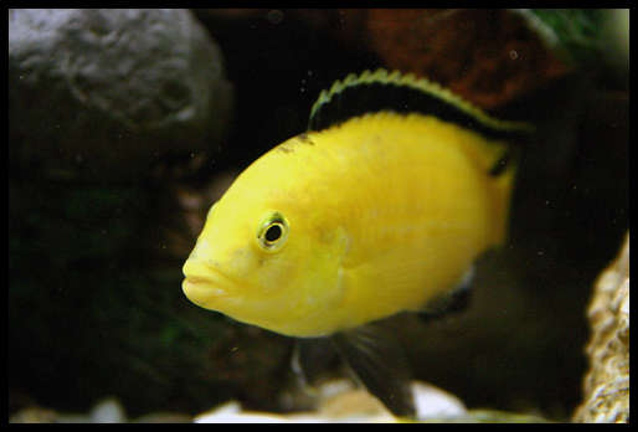 freshwater fish - labidochromis caeruleus - electric yellow cichlid stocking in 40 gallons tank - electric yellow male