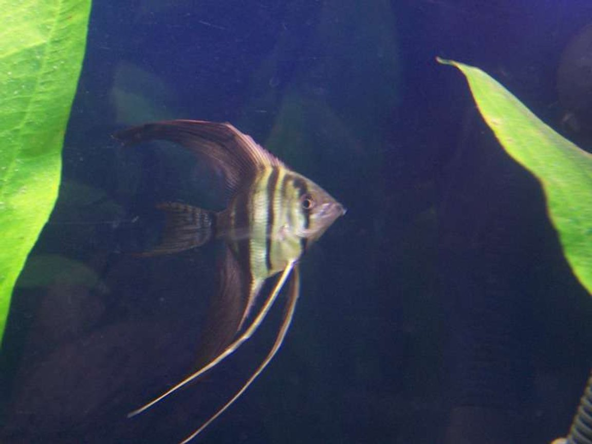 freshwater fish - pterophyllum scalare - half black angelfish stocking in 32 gallons tank - My Angel Fish