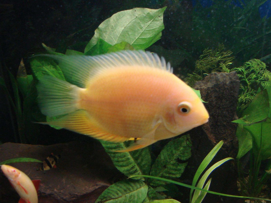 freshwater fish - amphilophus labiatus - red devil stocking in 200 gallons tank - Juvenile golden severum