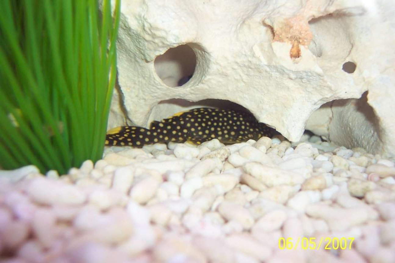 freshwater fish - baryancistrus sp. - gold nugget pleco (l-18) stocking in 80 gallons tank - My gold nugget hiding out!