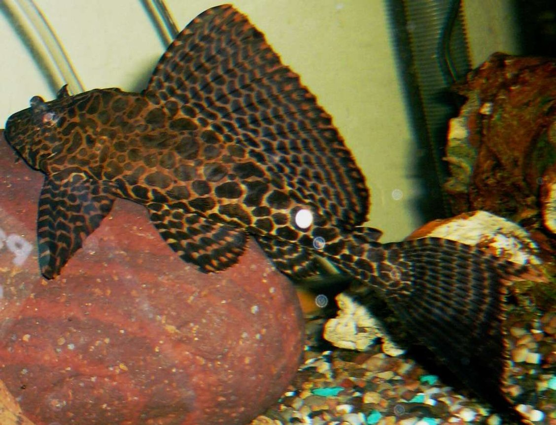 freshwater fish - glyptoperichthys gibbiceps - sailfin pleco (l-83) - My Gibby a little older but still a baby