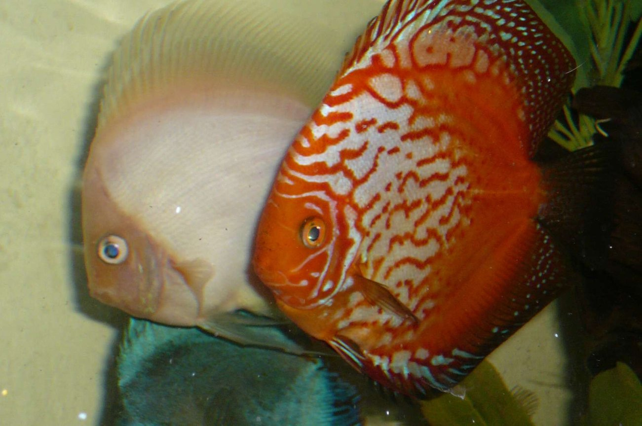 freshwater fish - symphysodon spp. - red leopard discus - The big boys out cruisin' for chicks