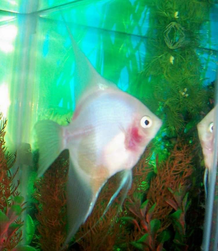 freshwater fish - pterophyllum sp. - white blushing angel stocking in 80 gallons tank - My white blushing Angel. She is looking at her own reflection.