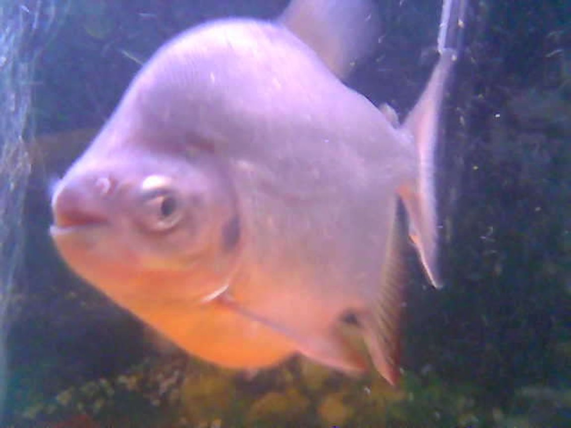 freshwater fish - piaractus brachypomum - red belly pacu stocking in 55 gallons tank - 2 year old RED BELLY PACU fondly known as BONE CRUSHER