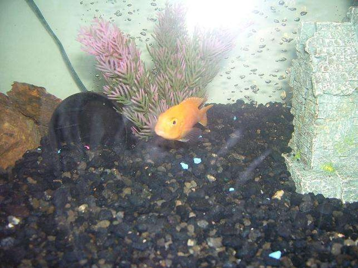 freshwater fish - pseudotropheus estherae - red zebra cichlid stocking in 55 gallons tank - cichlid