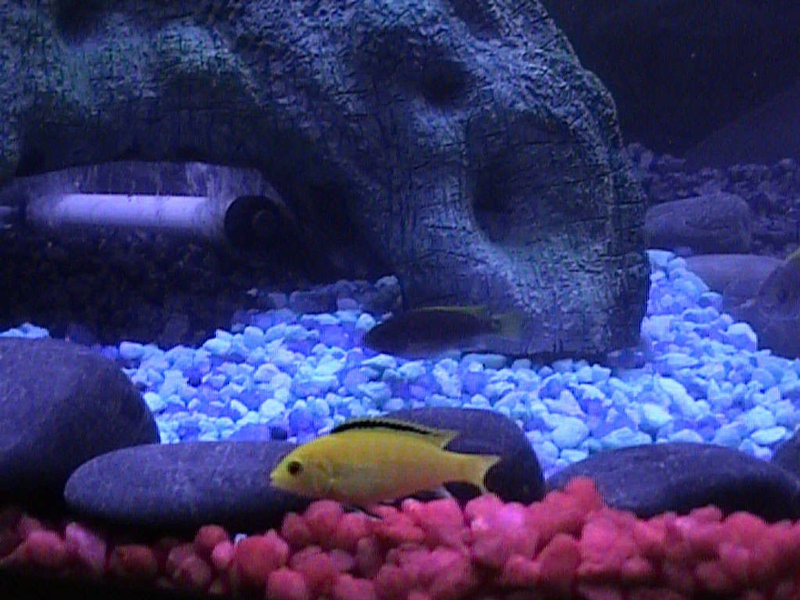 freshwater fish - labidochromis caeruleus - electric yellow cichlid stocking in 46 gallons tank - One of our pair of Electric Yellow Cichlids with one of our Electric Blue Cichlids in the background.