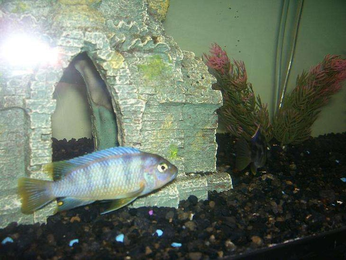 freshwater fish - labidochromis sp. - hongi stocking in 55 gallons tank - cichlid