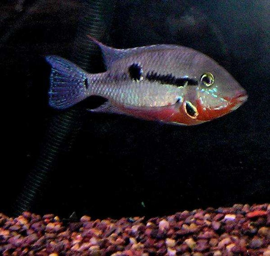 freshwater fish - thorichthys meeki - firemouth cichlid stocking in 210 gallons tank - Firemouth Cichlid