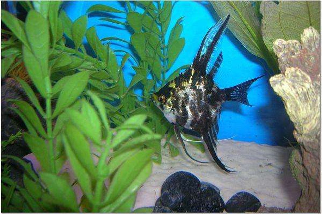 freshwater fish - pterophyllum sp. - marble veil angel stocking in 210 gallons tank - Marble Angel