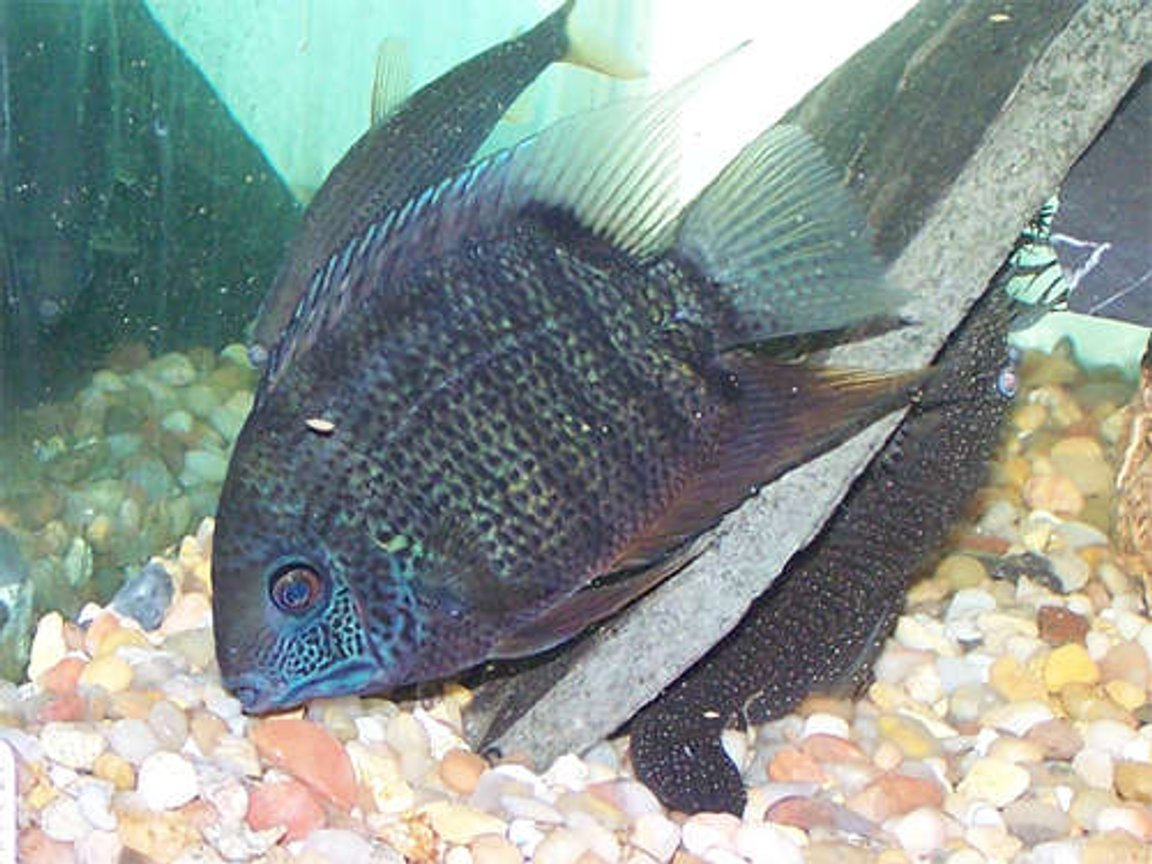 "freshwater fish - heros serverus - green severum stocking in 110 gallons tank - My 6"" Severum Petey, he's really showing his colors here. I love that severums change colors depending on their mood."
