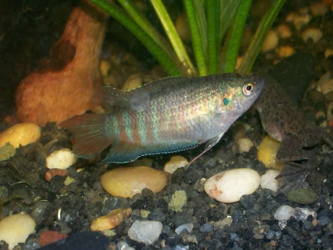 freshwater fish - macropodus opercularis - blue paradise stocking in 30 gallons tank - female blue paradise gourami love em