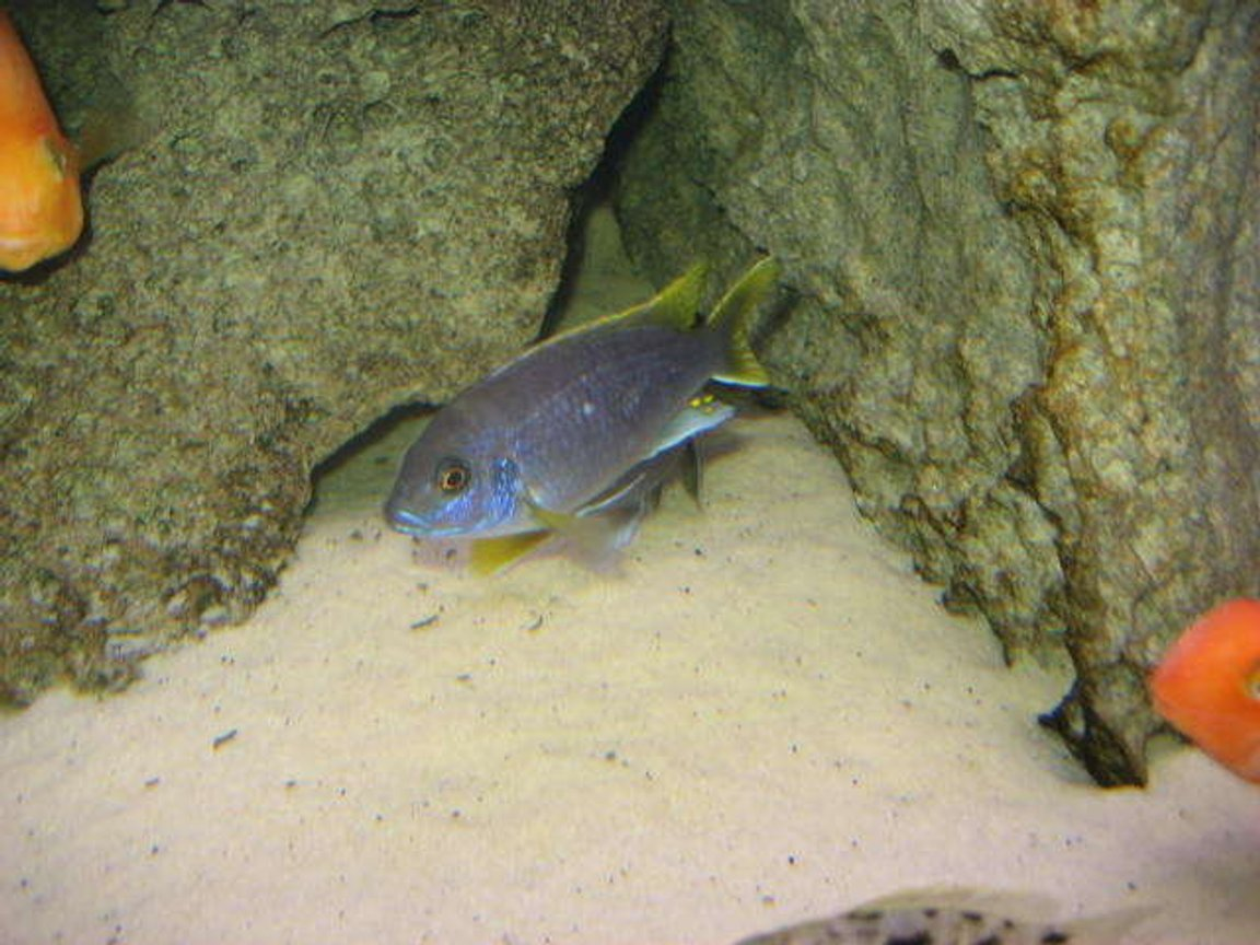 freshwater fish - pseudotropheus acei - acei cichlid stocking in 225 gallons tank - Yellow tail Acei