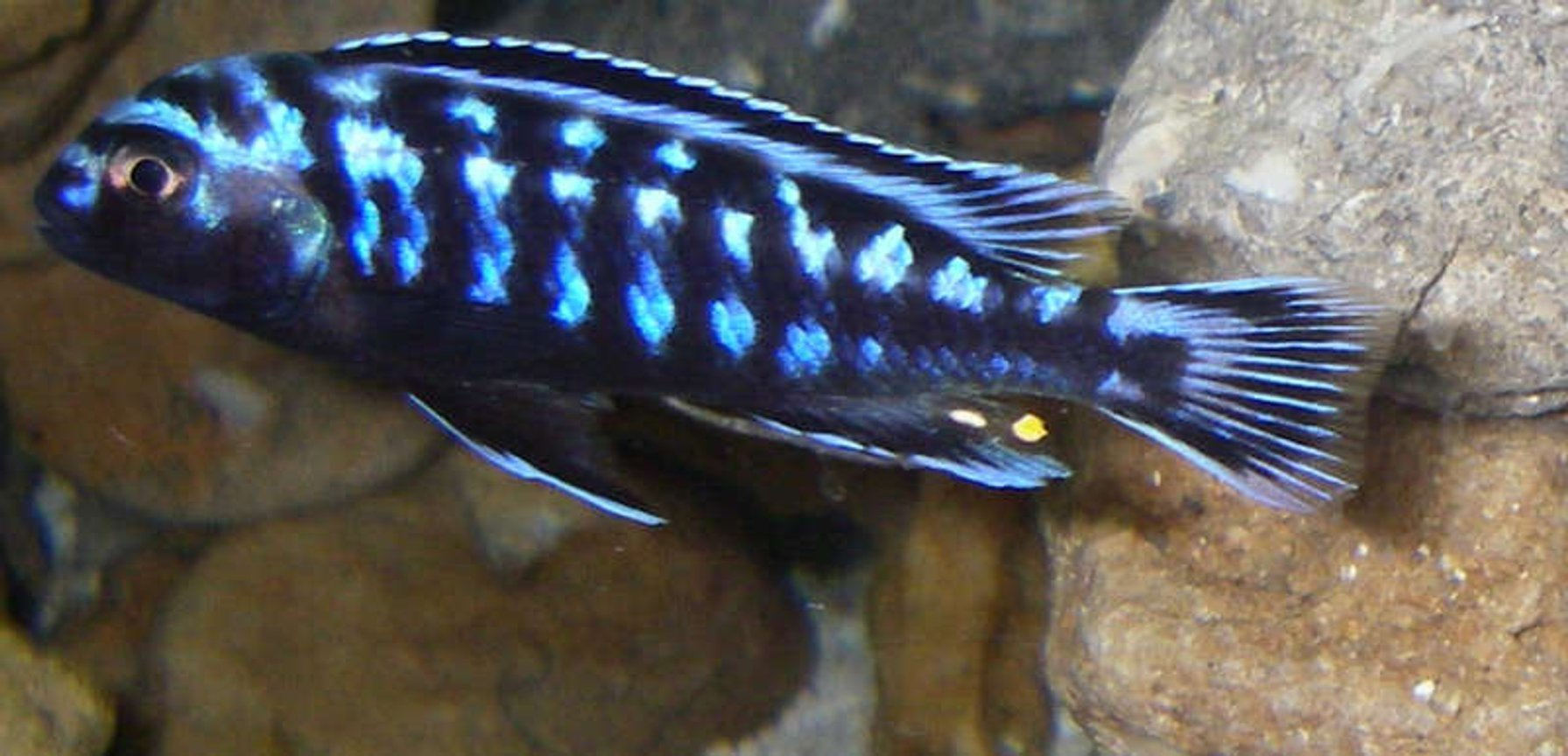 freshwater fish - melanochromis johannii - johanni cichlid stocking in 29 gallons tank - Electric blue johanni