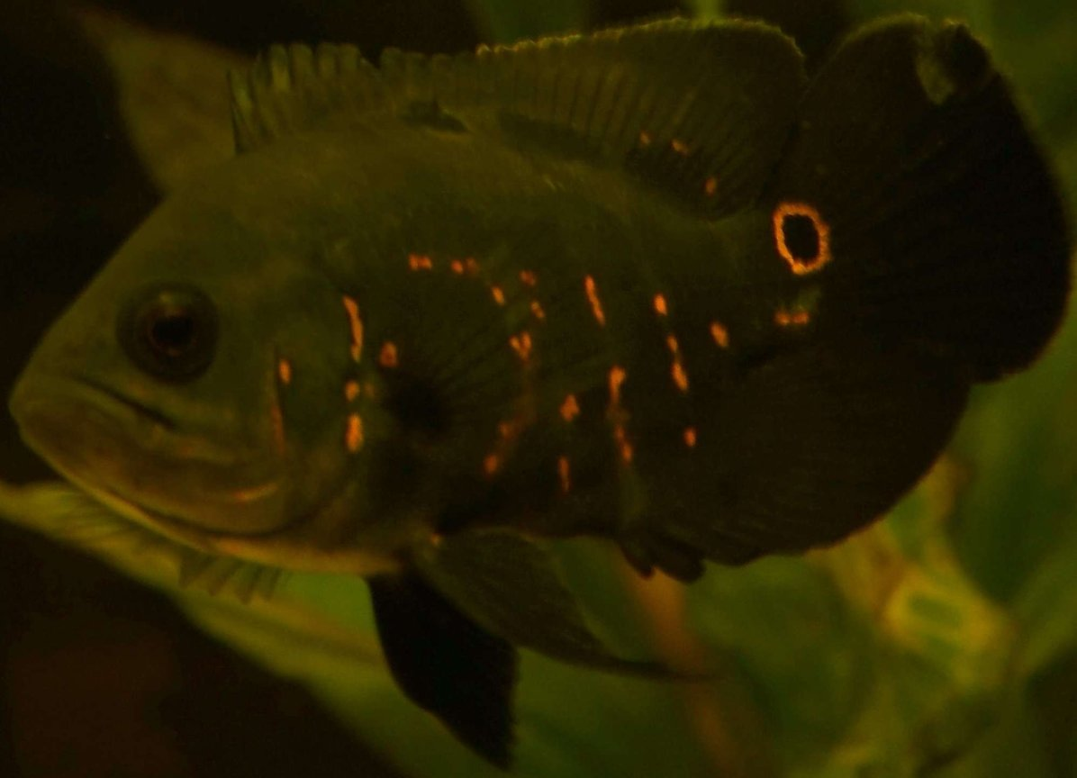 freshwater fish - astronotus ocellatus - tiger oscar stocking in 47 gallons tank - Here is my Oscar :)