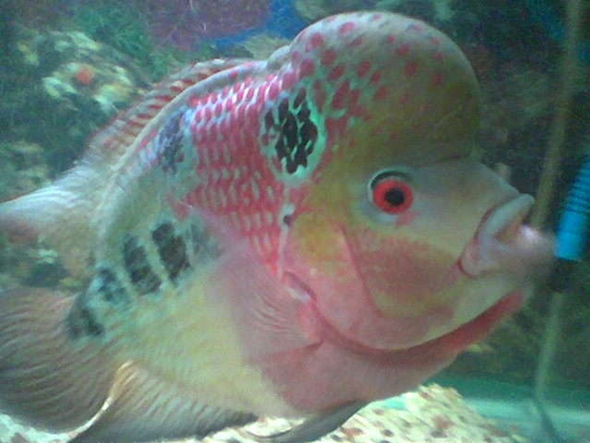 freshwater fish - cichlasoma sp. - flower horn cichlid stocking in 50 gallons tank - other angle of jumong my 3yrd old flowerhorn