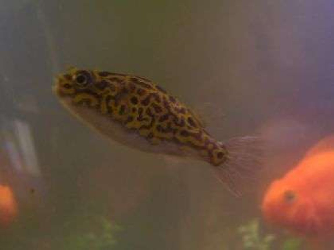 freshwater fish - tetraodon biocellatus - figure 8 puffer stocking in 55 gallons tank - Brikemonds Figure 8 Puffer Fish: Loki