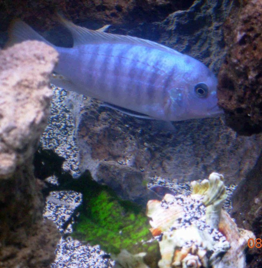 freshwater fish - metriaclima callainos - cobalt blue zebra cichlid stocking in 90 gallons tank - cobalt blue african cichlid