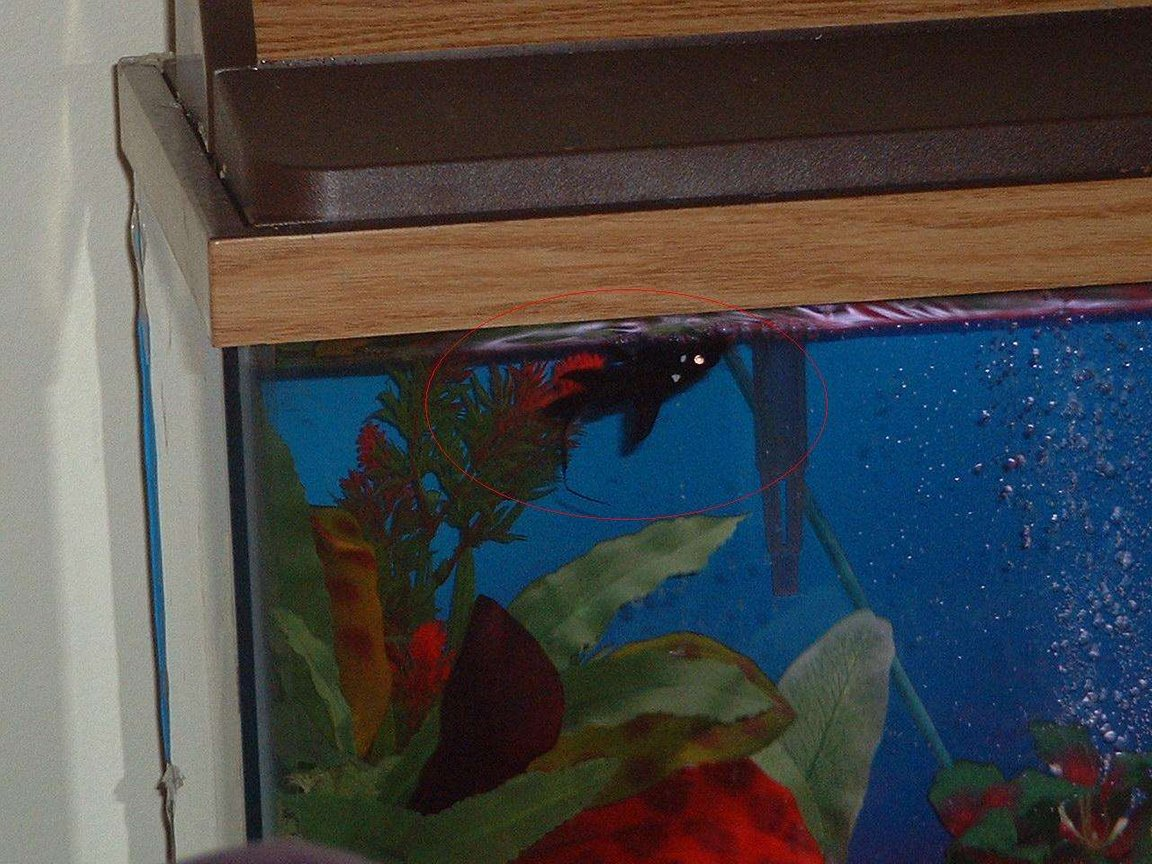 freshwater fish - mystus leucophasis - upside down cat, black stocking in 30 gallons tank - Asian Upside Down Catfish. Had to give him back though, he ate all my fish!