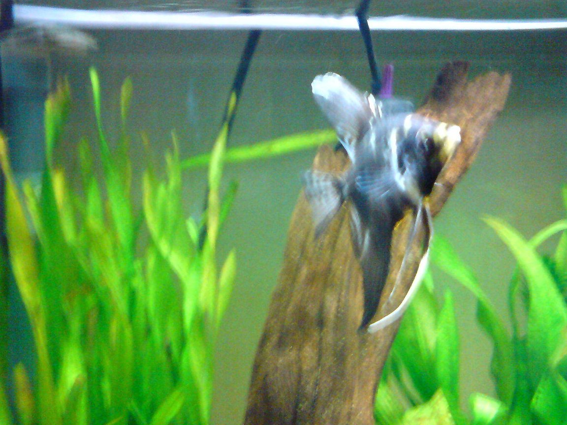 freshwater fish - pterophyllum sp. - marble veil angel stocking in 14 gallons tank - angelfish