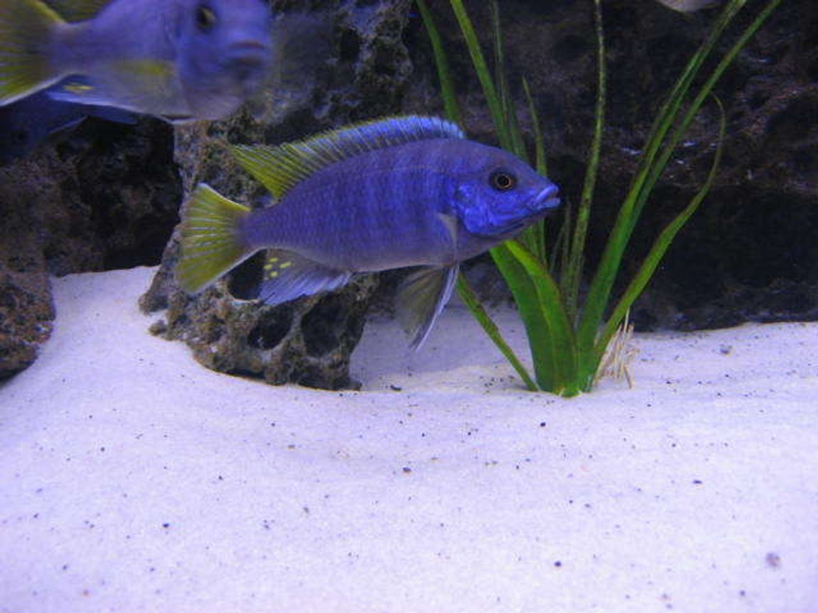 freshwater fish - pseudotropheus acei - acei cichlid stocking in 225 gallons tank - acei