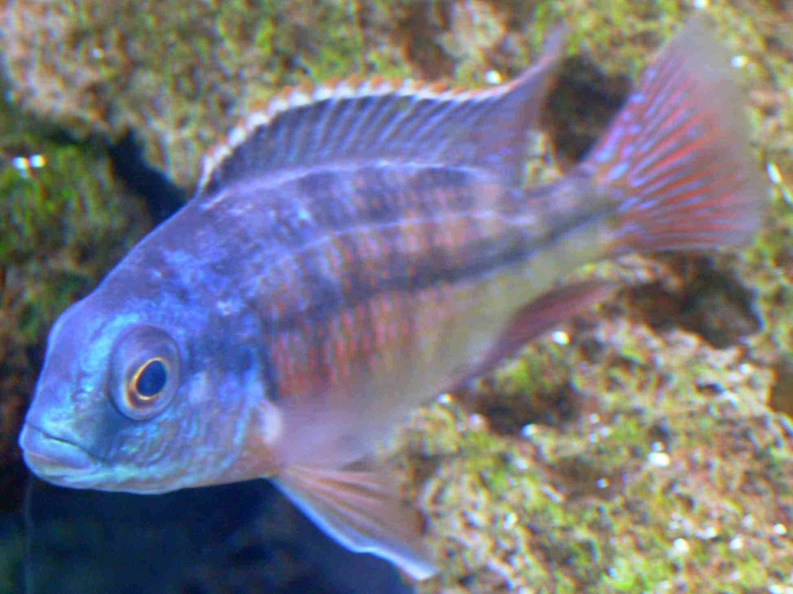 freshwater fish - protomelas taeniolatus - red empress stocking in 90 gallons tank - Red Empress, African Cichlid