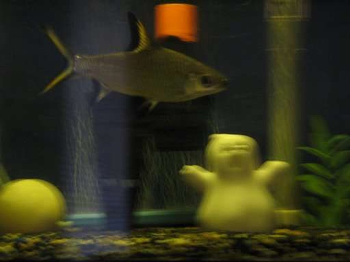 "freshwater fish - balantiocheilus melanopterus - bala shark stocking in 10 gallons tank - ""FINNEY"" BLACK FIN SHARK"