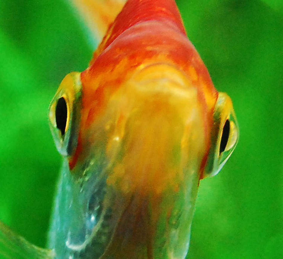 freshwater fish - pterophyllum sp. stocking in 75 gallons tank - Angelfish