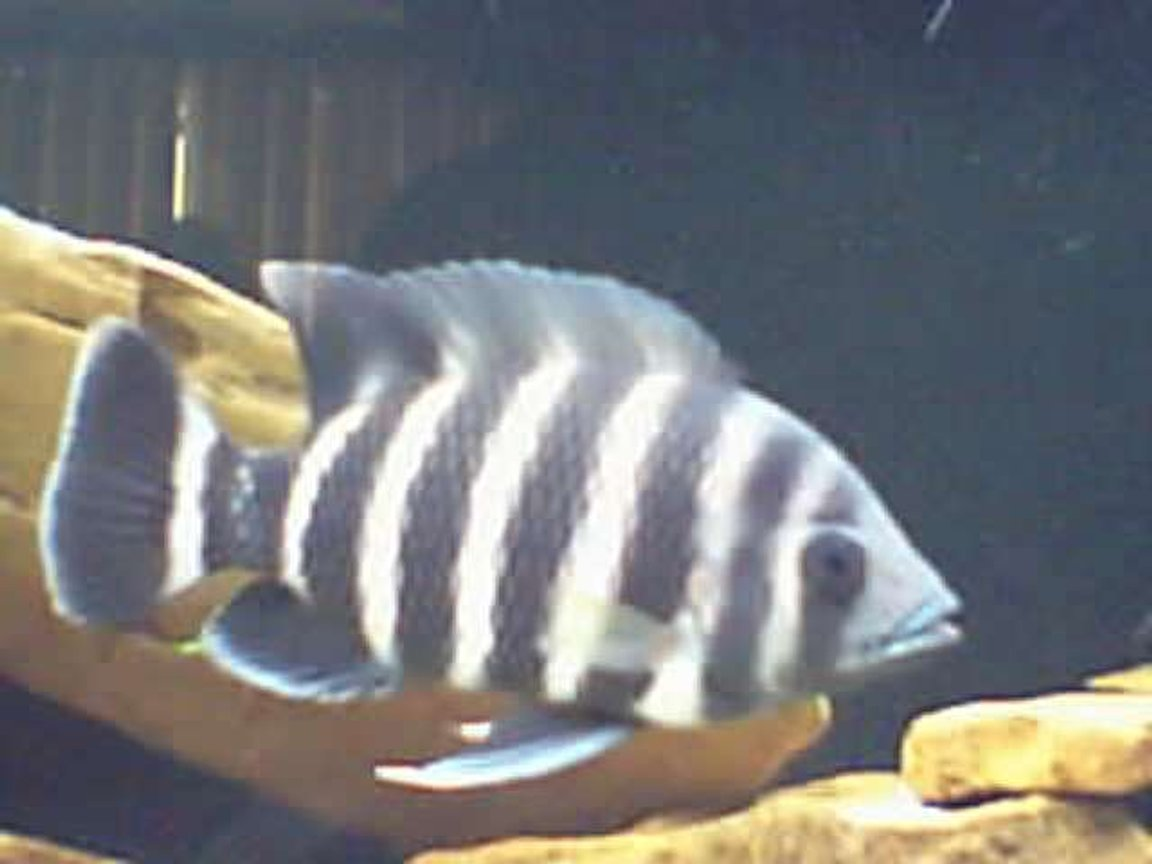 freshwater fish - tilapia buttikoferi - zebra tilapia stocking in 125 gallons tank - 8 inch ;)