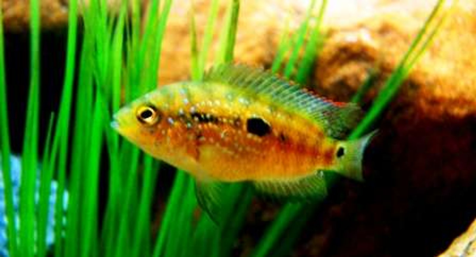 freshwater fish - nandopsis octofasciatum - jack dempsey stocking in 20 gallons tank - Young Jack Dempsey