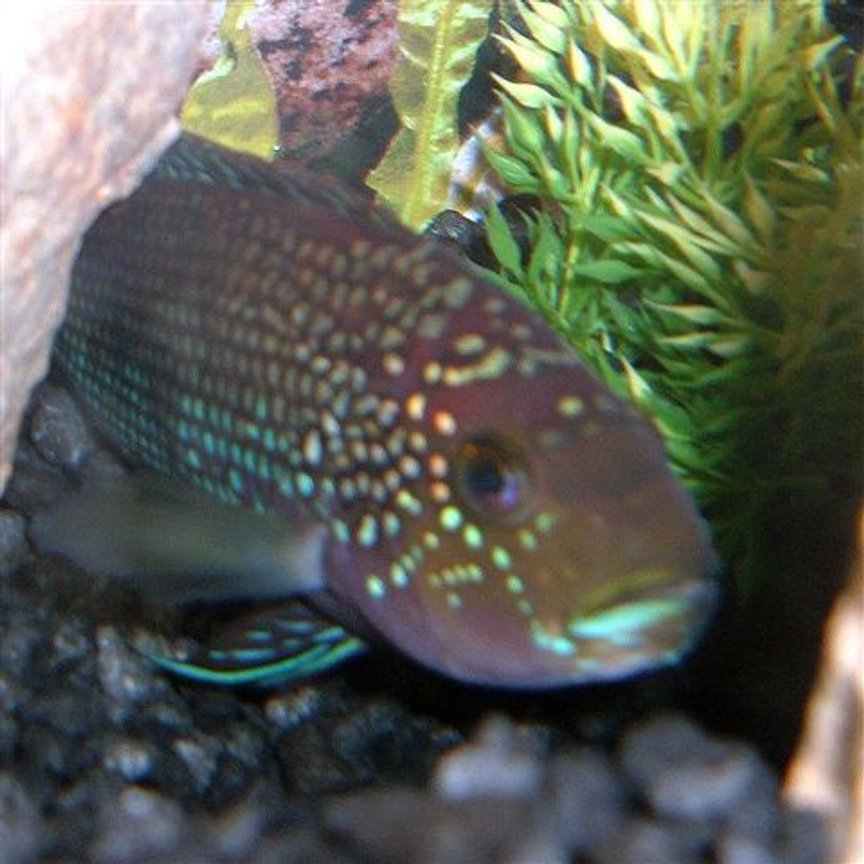 freshwater fish - nandopsis octofasciatum - jack dempsey stocking in 30 gallons tank - My Jack he's a year old now and in a 20g long tank. He was in a 10g. he needs some tank mates........anyone have any suggestions?