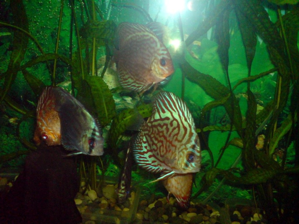 freshwater fish - symphysodon spp. - red turquoise discus stocking in 100 gallons tank - discus