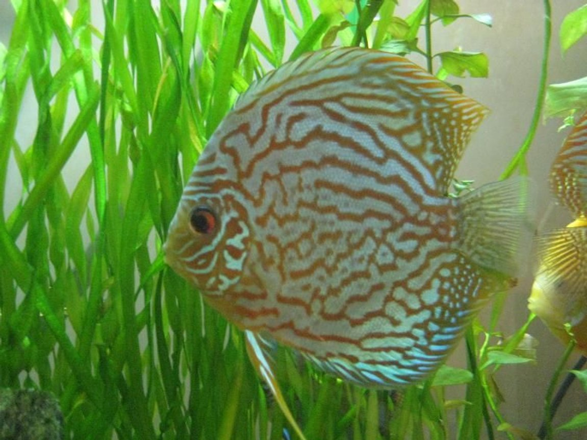 freshwater fish - symphysodon spp. - red turquoise discus stocking in 50 gallons tank - young adult red turquoise discus.