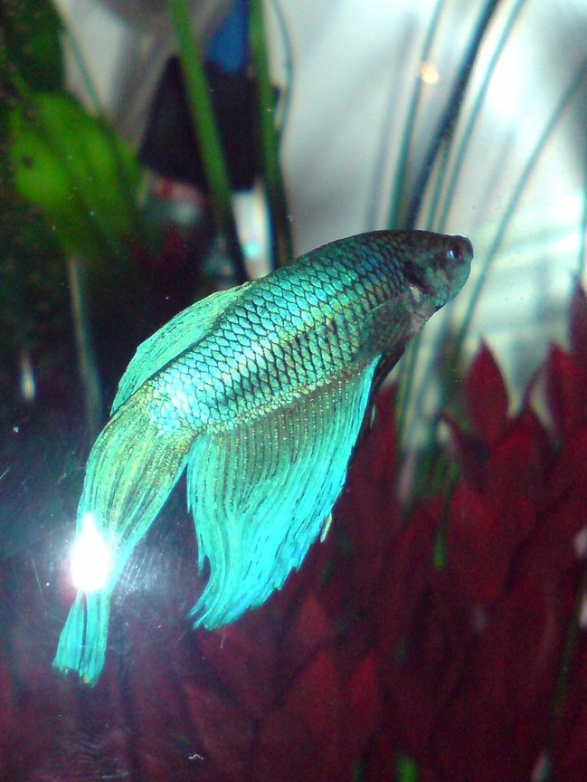 freshwater fish - betta splendens - betta - male stocking in 3 gallons tank - My Blue Fighter