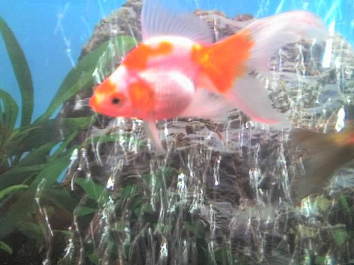 freshwater fish - carassius auratus - ryukin goldfish stocking in 30 gallons tank - my goldfish