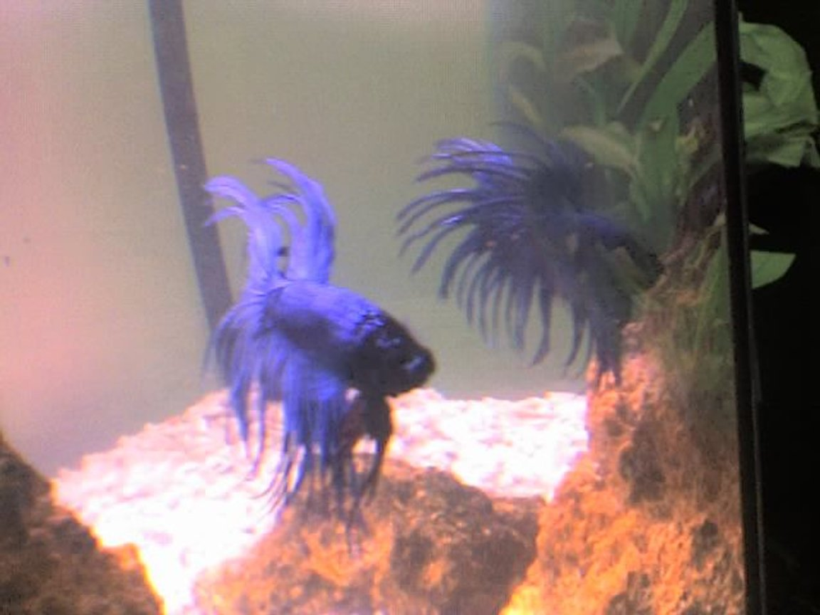 freshwater fish - betta splendens - crown tail betta stocking in 30 gallons tank - my betta, look in the mirrow...