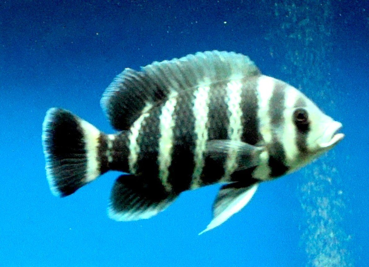 freshwater fish - tilapia buttikoferi - zebra tilapia stocking in 138 gallons tank - This fish looks SO good and healthy. Tilapia is one of my favorite fish ...