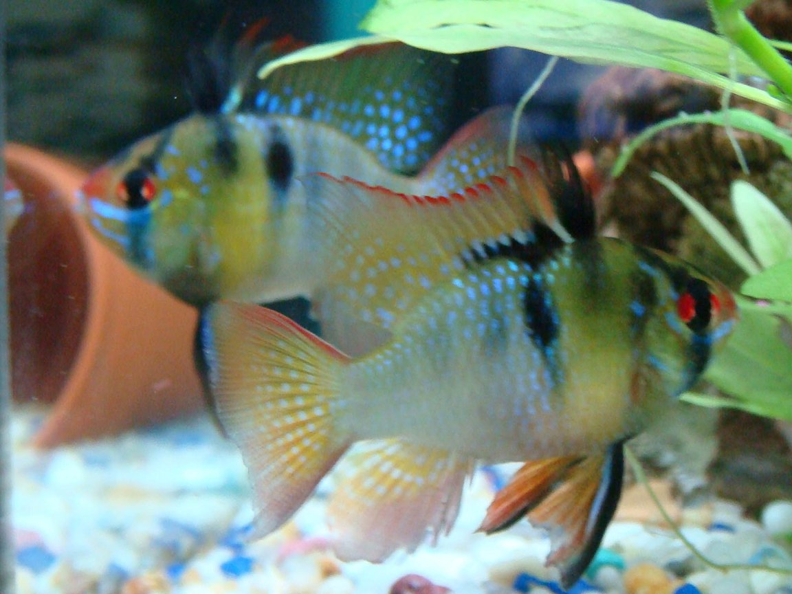 freshwater fish - papiliochromis ramirezi - german blue ram stocking in 12 gallons tank - my german blue rams
