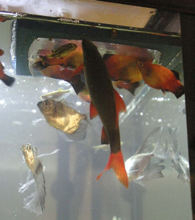 freshwater fish - epalzeorhynchos frenatus - rainbow shark stocking in 33 gallons tank - feeding time for my tank inhabitants