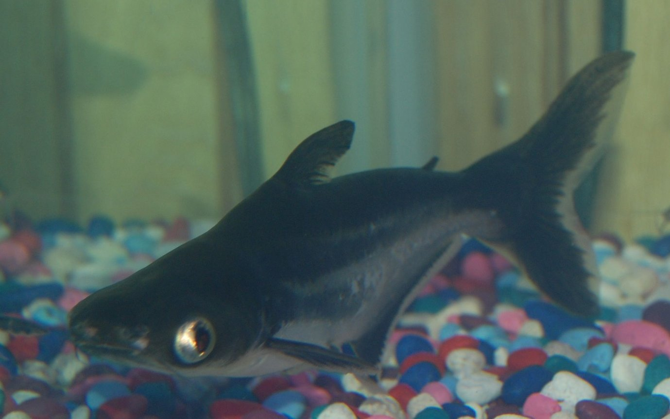 freshwater fish - pangasius hypophthalmus - iridescent shark stocking in 90 gallons tank - my 6 inch iredescent shark