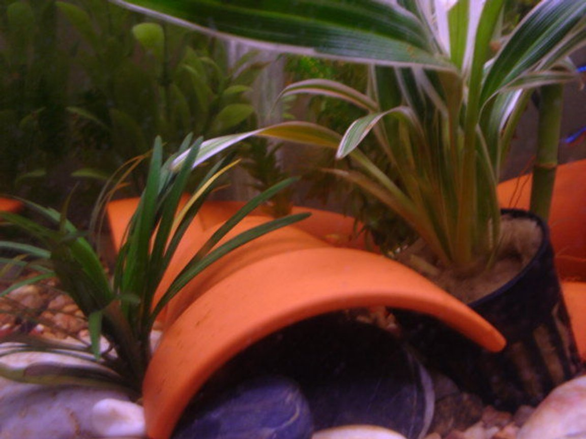 freshwater fish - xiphophorus maculatus - platy stocking in 15 gallons tank - Baby Platty