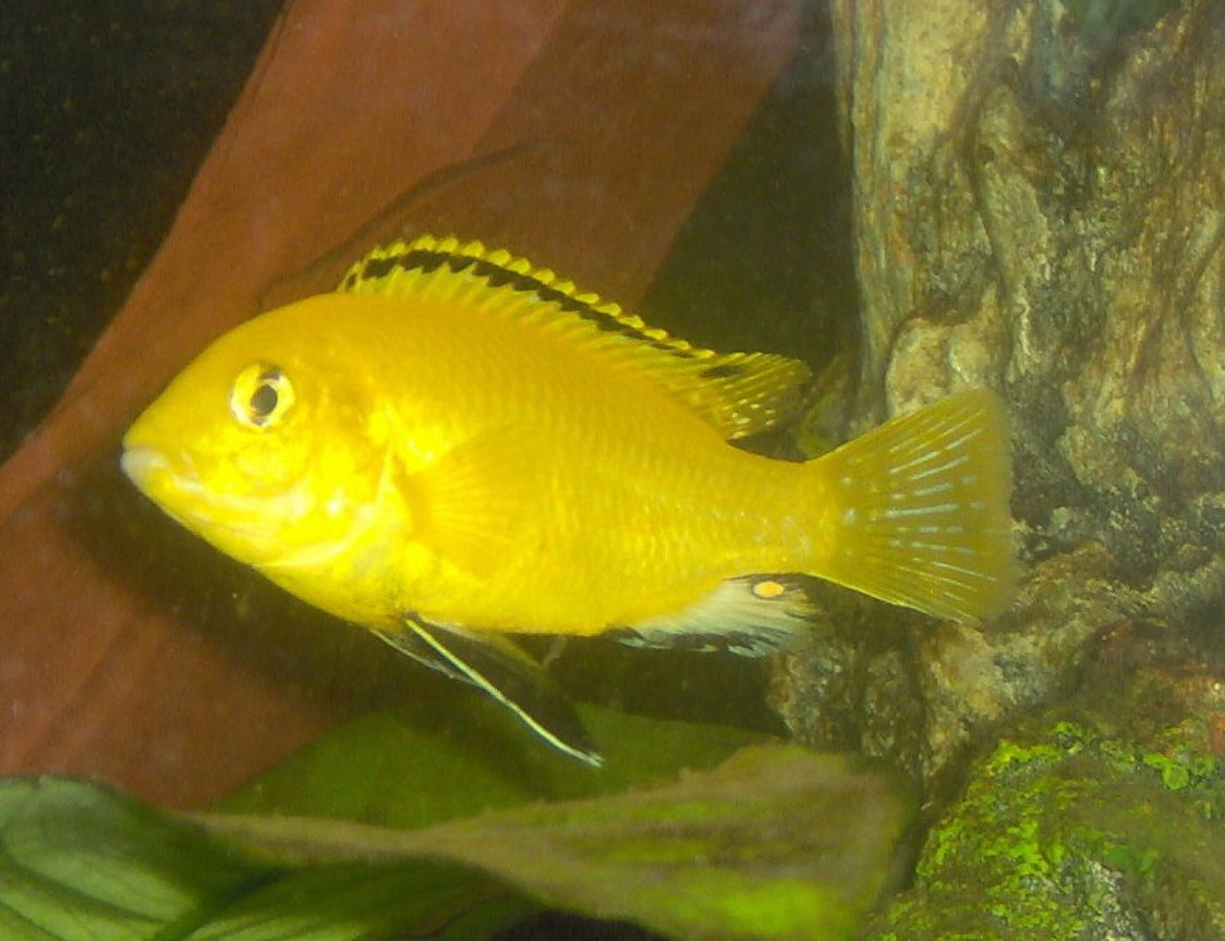freshwater fish - labidochromis caeruleus - electric yellow cichlid stocking in 55 gallons tank - juvenile male yellow lab