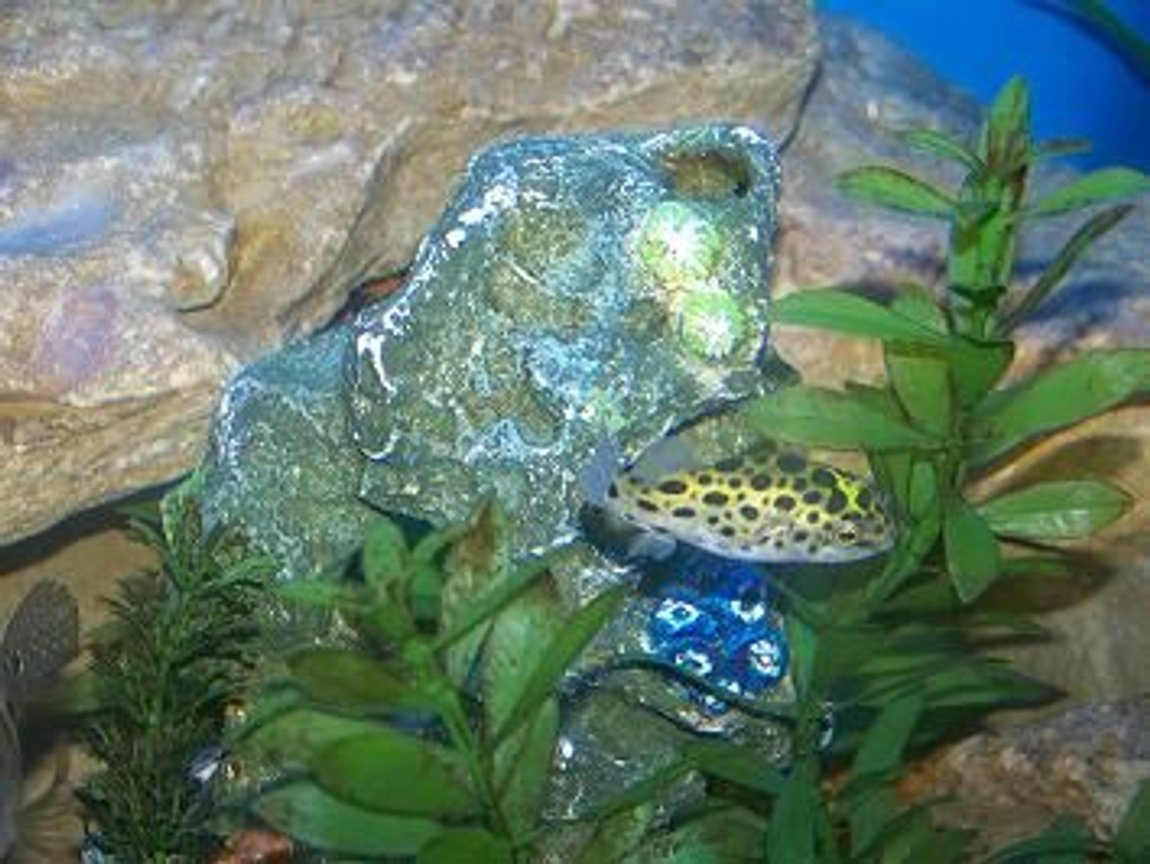 freshwater fish - tetraodon nigroviridis - green spotted puffer stocking in 90 gallons tank - spotted puffer