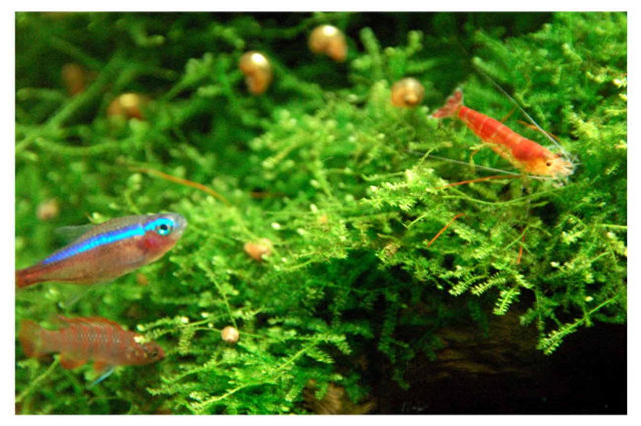 freshwater fish - paracheirodon axelrodi - cardinal tetra stocking in 15 gallons tank - Tetra, Babis looking at Shrimpy (Tetra's color still not mature yet cause i took this shot 10 mins after i'd turn on the tank's lights)