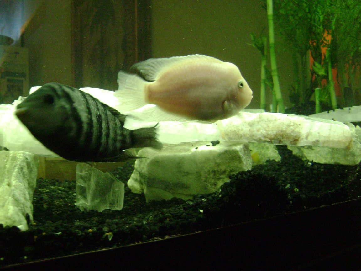 "freshwater fish - archocentrus nigrofasciatus - black convict cichlid stocking in 120 gallons tank - I call this one ""the Fags"" 2 male convicts in my tank live together fight together they have each others back and they love each other. Go Figure Archocentrus Nigrofasciatus"