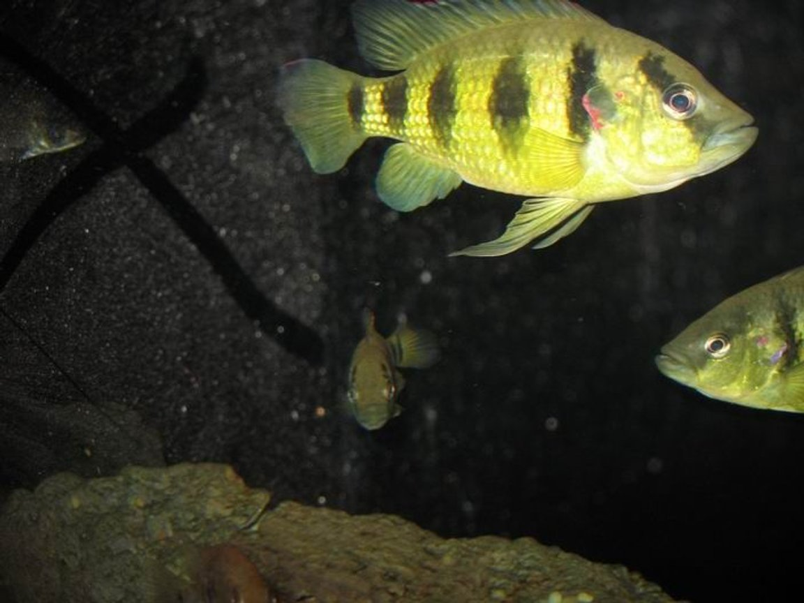 freshwater fish - astatotilapia latifasciata - zebra obliquidens stocking in 100 gallons tank - this is dave and his mates he is a two year old five star general