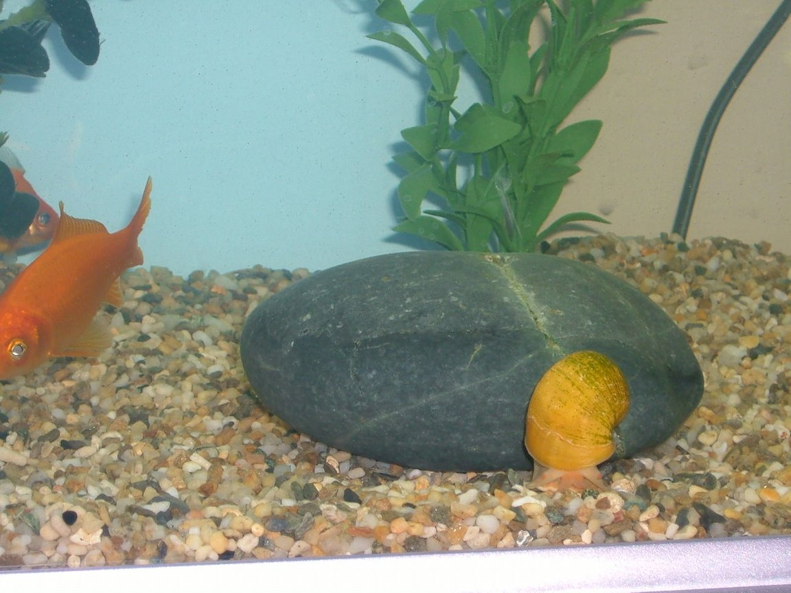 freshwater fish - carassius auratus - goldfish stocking in 25 gallons tank - Brian the snail and Flapjack the fish