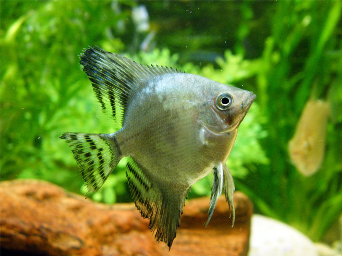 freshwater fish - pterophyllum scalare - veil angel stocking in 32 gallons tank - Angel